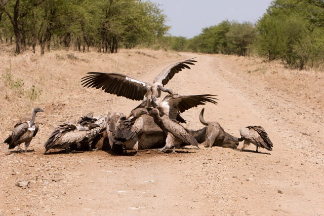 national parks worldwide african  vultures africa
