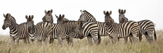 National Parks Worldwide  African Zebras Africa National Parks