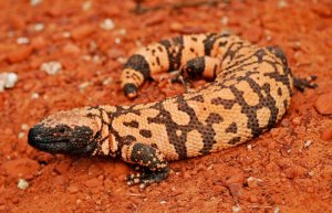 national parks worldwide Gila Monster (Heloderma suspectum cinctum)   mexico