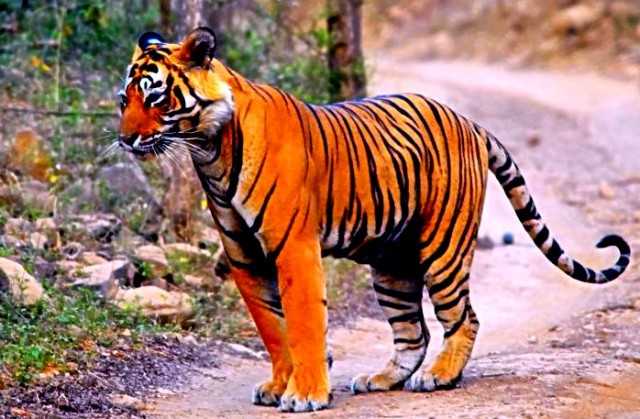 National Parks Worldwide Bengal Tiger India