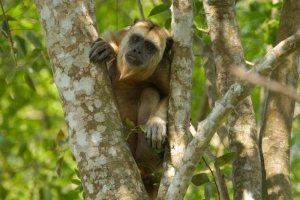 National Parks Worldwide Black Howler Monkey  Belize