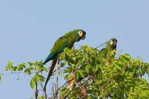 blue-winged macaw  national parks worldwide bolivia