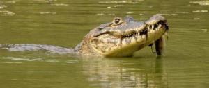 national parks worldwide  caiman  brazil