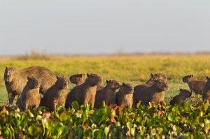 Capybara - Venezuela 2