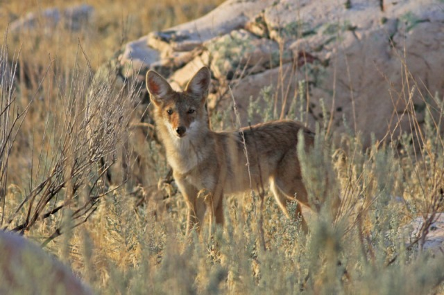 national parks worldwide  Coyote  Canus latrans      Mexico