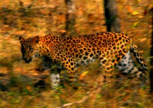 national parks worldwide  Leopard - India