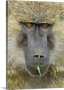 olive baboon (Papio anubis)   National Parks of Africa National Parks of the World African National Parks Baboon   African Primate  National Parks Worldwide   Wildlife conservation   wild animals  african animals  african wildlife