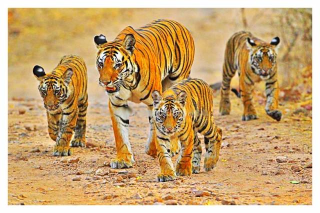 National parks of India Indian Wildlife tiger at Bandhavgarh National Park Indian tiger wildlife of national parks