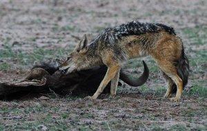 national parks of the world  jackal angola national park