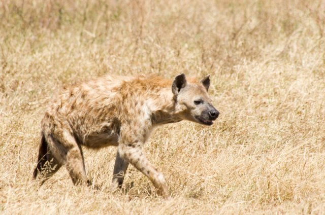 national parks worldwide  botswana africa hyeana