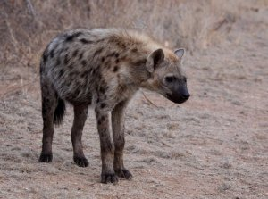 national parks worldwide spotted hyena