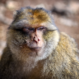 national parks worldwide Algeria   Barbary Macaque, Magot (Macaca sylvanus)