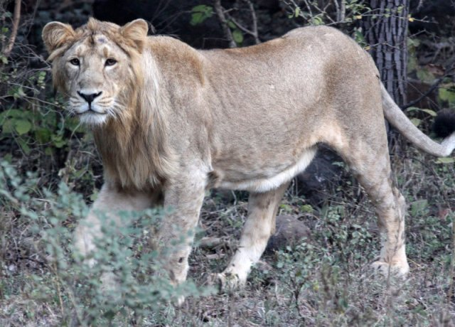 National Park Worldwide  ASIATIC LION - GIR FOREST GUJARAT INDIA