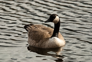 national parks worldwide  canadian goose