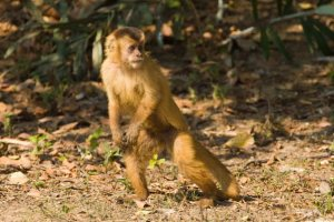 national parks worldwide  Capuchin Monkey - Brazil