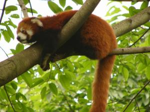 Natioanl Parks Worldwide  Red Panda Nepal