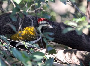 national parks worldwide COMMON FLAMEBACK - GIR FOREST GUJARAT INDIA