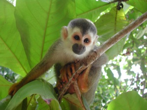 national parks worldwide  - Costa Rica - squirrel monkey