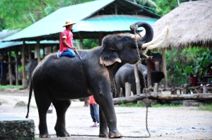 national parks worldwide  Elephant show,Chiang Mai. Thailand