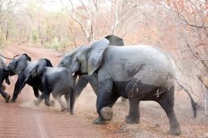 elephants zz