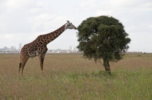 natinal parks worldwide   giraffe in Nairobi National Park