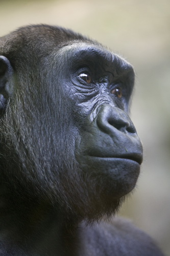National Parks worldwide   gorilla