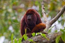 national parks of venezuela national parks oof south america national parks of north america national parks of aftrica Howler Monkey - venezuela  wildlife conservation endangered species mammals monkey national parks of the world national parks worldwide