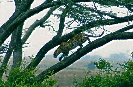 national parks worldwide  leopard  nairobi national park  kenya