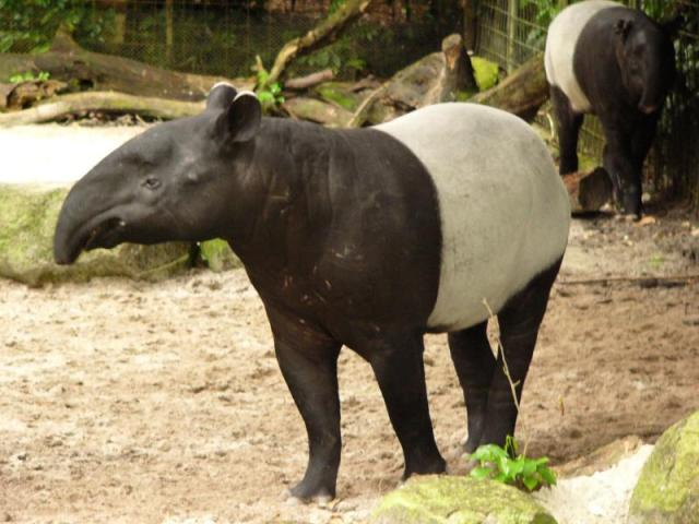 National Parks Worldwide Malayan tapir