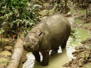 Natinal Parks Worldwide  Malaysia - Sumatran rhinoceros