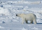 natinoal parks of the world polar bear endangered species