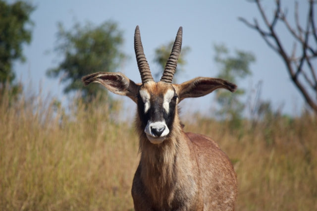 National Parks of Africa African Antelope  Roan Antelope Hippotragus equinus   Cameroon    National Parks of the World  National Parks of Cameroon  African Wildlife exotic animals primates  African Jungle African Forest endangerd species African Mammals mammalia