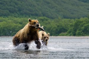 national parks worldwide Russia  - Brown Bear