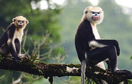 national parks of vietam  national parks of asia   Snub-nosed monkey in  Cat Tien National Park  national parks of the world  national parks worldwide