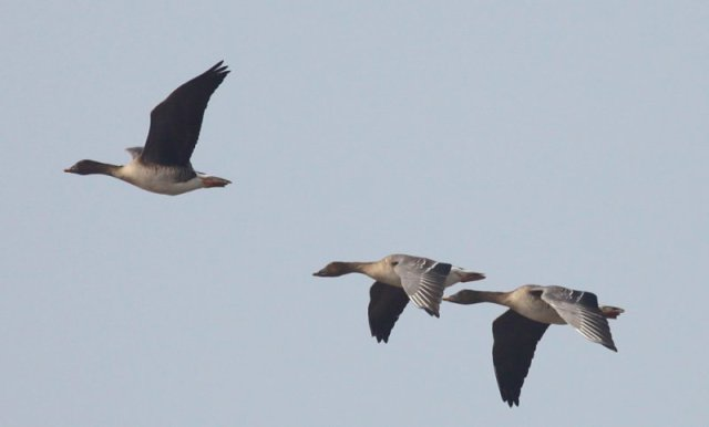 national parks worldwide  Tundra Bean Geese    china