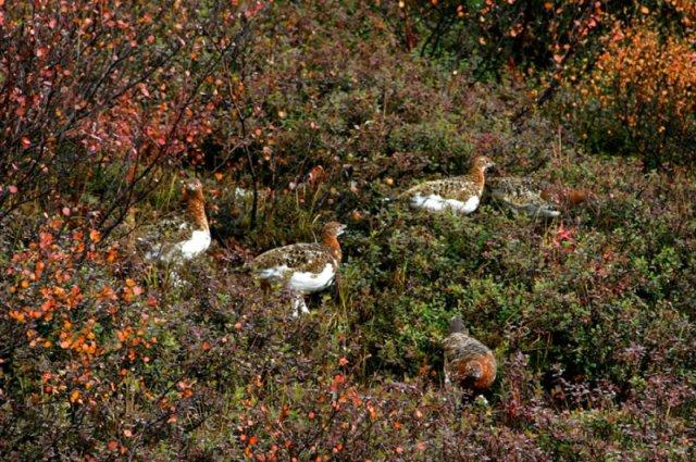 national parks worldwide  willow ptarmigan canada
