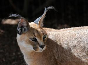 national parks worldwide   caracal national parks of iran