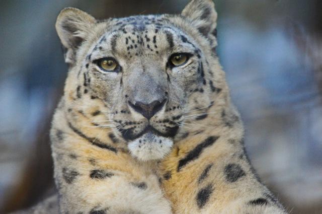 national parks worldwide   snow leopard  nepal