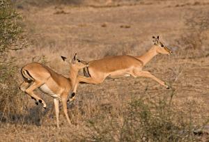 african national park  akagera national park  rwanda national park impala  national park