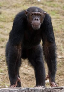 national parks of the world Mahale National Parks Chimpanzee Tanzania