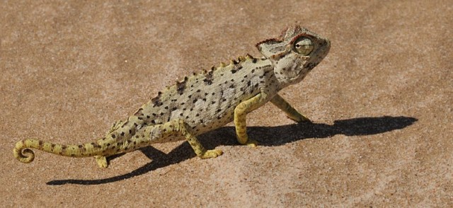 national parks of the wotld    namibia  lizard   nationla parks of namiba