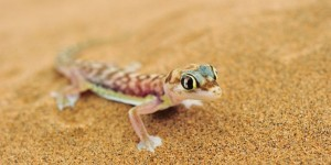 national parks of the world    Pachydactylus (Palmatogecko) rangei   namibia  national park