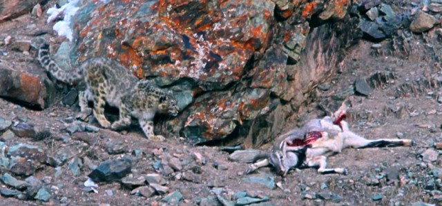 national park worldwide snow leopard   india hemis national park