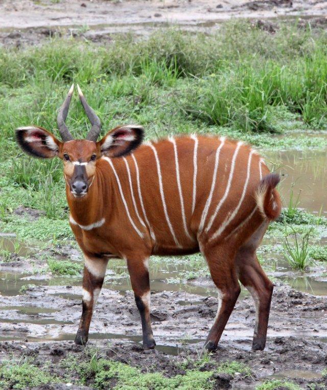 National Parks of the World Bongo (Tragelaphus eurycerus)   Africa