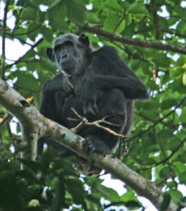 National Parks of the Wolrd  Chimpanzee  Africa