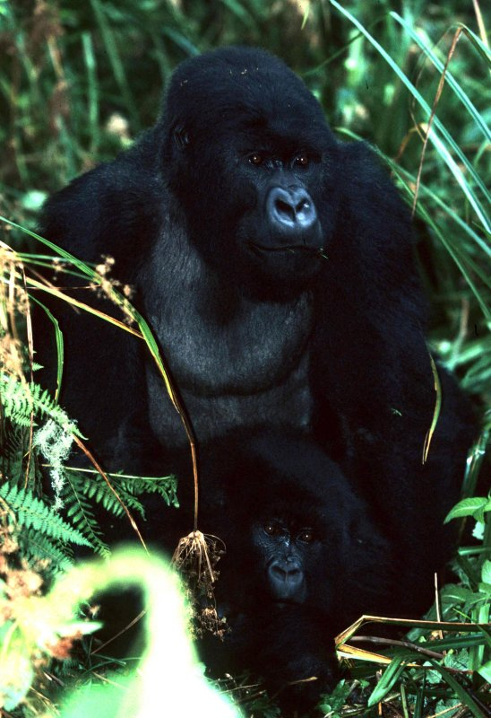 national parks of africa    national parks of rwanda   Gorilla (Gorilla beringei)   national parks of the world   endangered species   wildlife conservation