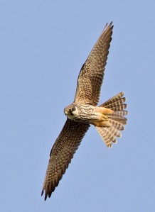 National Parks   Birds of India Eurasian Hobby (Falco subbuteo)  National Parks of the WORLD     bIRDS OF nATIONAL pARKS