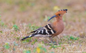 Birds of India   -    National Parks of India -  Eurasian Hoopoe  (Upupa epops)  National Parks of the World - Birds of National Parks