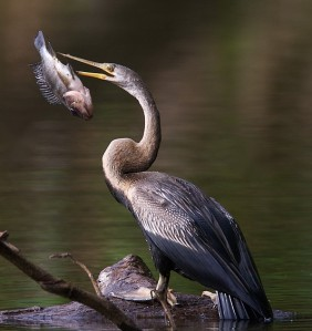 national park   national parks of india  national parks of the world  naional parks of asia    Oriental Darter or Indian Darter (Anhinga melanogaster )  bitds of india  birds of the world