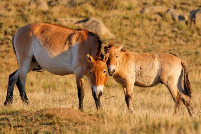 Przewalski's horse (Equus ferus)     Hustai National Park     Mongolia